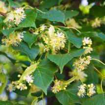 Hársfa virágzat tea 50 g